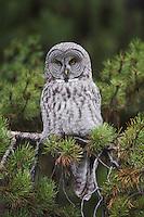 Great Grey Owl (Strix nebulosa), adult in pine tree, Yellowstone National Park, Wyoming, USA