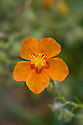 Orange rock rose (Helianthemum leptophyllum), mid June.