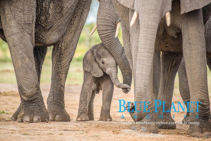 African elephant (Loxodonta africana), a few days old calf, Chobe National Park, Chobe District, Botswana, Africa