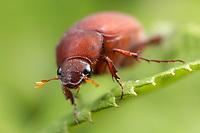 A frontal view of an Asiatic Garden Beetle (Maladera castanea)