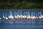 Greater flamingos (Phoeniconaias ruber) courtship display. Shallows of Lake Ndutu, Ngorongoro Conservation Area (NCA) near Ndutu, Tanzania.