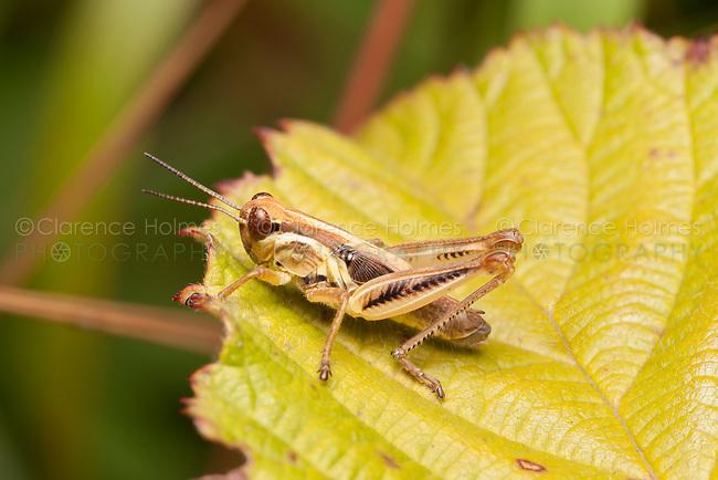 Spur-throated Grasshopper (Melanoplus sp.)