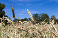 Rye grown for anaerobic digestion feedstock - July