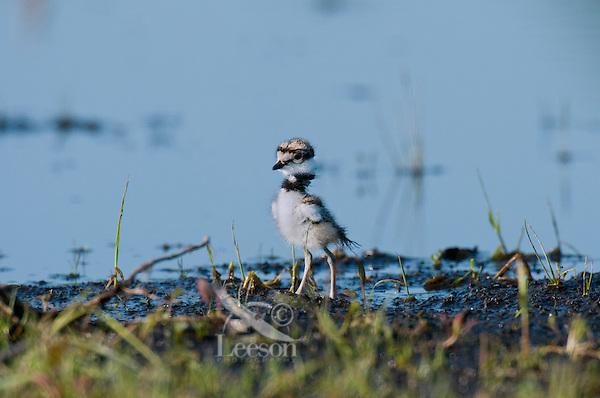 Very young Killdeer (Charadrius vociferus) chick.  Western U.S., Spring.