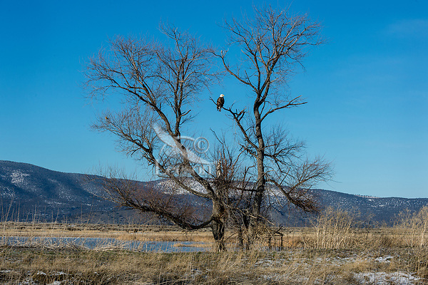 Bald Eagle (Haliaeetus leucocephalus) sitting in tree along auto tour route in Lower Klamath National Wildlife Refuge, Oregon-California Border.  February.