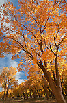 Cottonwood trees (Populus fremontii) in Canyon de Chelly National Park, Arizona, United States of America