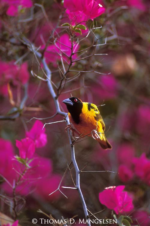 Male Golden-backed Weaver perched in a flowering tree in Kenya.