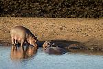 Common Hippopotamus (Hippopotamus amphibius) calf with mother, Kruger National Park, South Africa