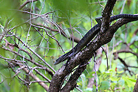 Climbing Canopy Goanna, Iron Range National Park, Queensland