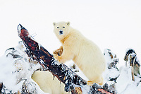 polar bear, Ursus maritimus, cub feeding on a bowhead whale, Balaena mysticetus, carcass on the pack ice, 1002 coastal plain of the Arctic National Wildlife Refuge, Alaska, polar bear, Ursus maritimus