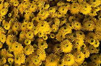 Hundreds of golden chrysanthemum heads.