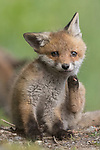 Fox kit takes time out of playing with siblings to wave to photogrpaher Anne Lindner
