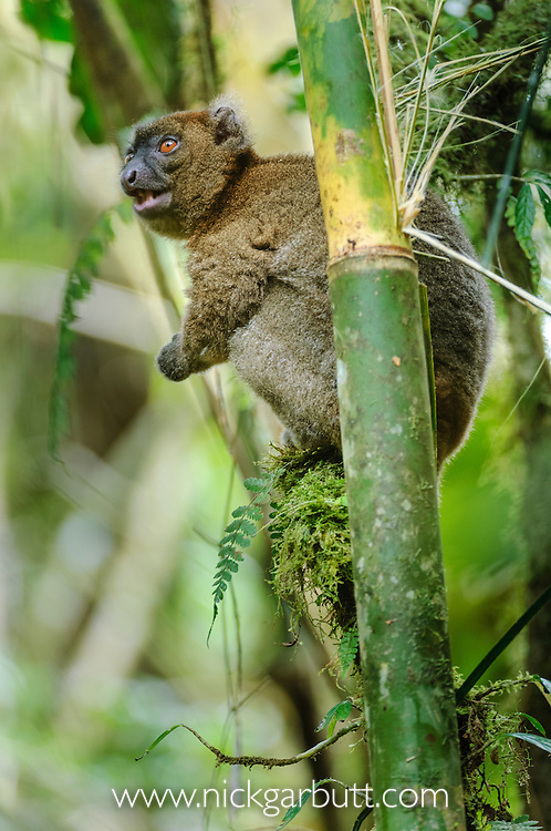Greater Bamboo Lemur (Prolemus simus) (Critically Endangered) feeding in gaint bamboo. Ranomafana NP, south east Madagascar.