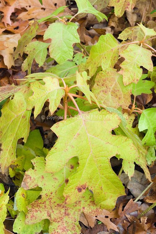 Hydrangea quercifolia 'Little Honey' in autumn color