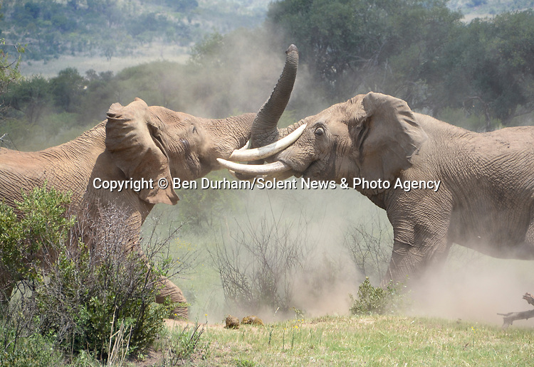 HAVING A TUSK-LE.....Two giant bull elephants lock tusks in a gruelling battle that lasted over an hour.  The raw power of the huge animals was on display after a juvenile elephant began taunting its older counterpart by tapping its trunk on the head of its elder.<br /> <br /> The elephants, which can weigh up to 100 stone (6,000kg) each, fought for an hour and a half - kicking up clouds of dust in the 27 degree heat.  The fight took place at the Pilanesberg Game Reserve in South Africa, and was captured by amateur photographer Ben Durham.  SEE OUR COPY FOR DETAILS.<br /> <br /> Please byline: Ben Durham/Solent News<br /> <br /> © Ben Durham/Solent News & Photo Agency<br /> UK +44 (0) 2380 458800