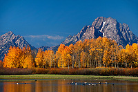 749450457 a flock of wild canadian geese branta canadensis swim and feed along the oxbow bend of the snake river with a row of brilliant yellow fall colored aspens populus tremuloides below mount moran and the tetons in grand tetons national park in wyoming