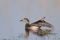 Gadwall, Anas strepera, National Park Lake Neusiedl, Burgenland, Austria, April 2007