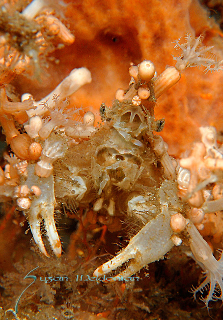 Decorator crab close up with polyps, sponge, coral