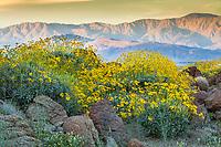 Encelia farinosa, Brittlebush flowering shrub on rocky ridge outcrop in Sonoran Desert Sonoran Desert at Anza Borrego California State Park