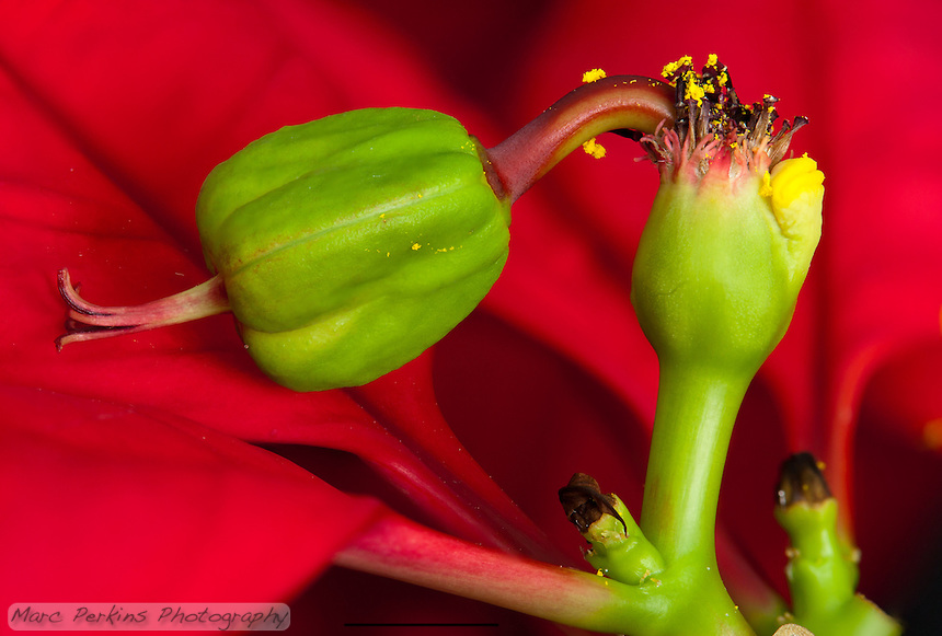 A single female poinsettia flower with stigma, style, and enlarged ovary can be seen emerging from its involucre (cluster of bracts fused together) on a thick pedicel (stalk) that's almost as long as the flower itself.  Also emerging from the involucre are a number of withered male flowers (stamen and anthers both visible) that still have yellow pollen on them.  The involucre has a nectar gland emerging from it (that look like two yellow lips).  The involucre also has small saucer shaped structures emerging from it; I'm not sure what they are (they're more easily visible in my other poinsettia pictures).  The entire inflorescence (involcure, male flowers, and female flower) is called a cyanthium.  The cyanthium is growing up from a stem's branching point, where a bract is emerging.  The red leaves surrounding the inflorescences (mostly out of focus) are bracts.  The scale bar (at the bottom) is 5mm long.