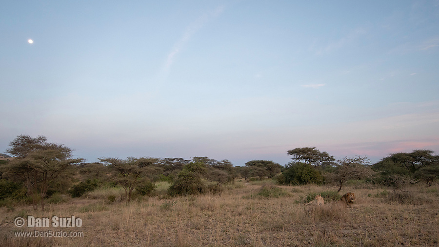 A male and female Lion, Panthera leo  melanochaita, in pre-dawn light in Serengeti National Park, Tanzania
