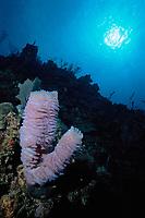 Azure Vase Sponge, coral reef, Callyspongia plicifera, Roatan, Honduras