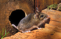 Deer Mouse (Peromyscus maniculatus) steps outside the safety of its mouse hole, summer, southern British Columbia, Canada.