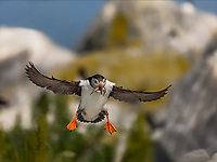 An Atlantic Puffin landing with wings out, feet down and fish in beak