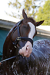 May 17, 2013. Preakness contender Will Take Charge gets a bath after his gallop at Pimlico Race Course in Baltimore, MD. (Joan Fairman Kanes/Eclipse Sportswire)