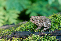 American toad, Fowlers toad, Bufo Americanus, sits on lush moss of forest floor