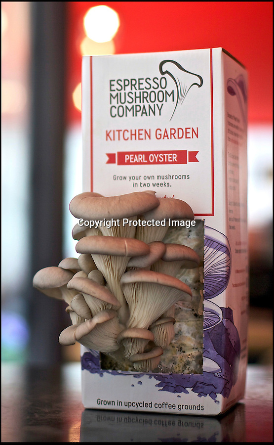 BNPS.co.uk (01202 558833)<br /> Pic: HeatherWilkinson/BNPS<br /> <br /> Delicious oyster mushrooms grown in old coffee.<br /> <br /> Old coffee turned into a mushrooming new business.<br /> <br /> Brothers Alex and Robbie Georgiou and their friend John Coombs collect mountains of old coffee grounds from cafes and use it to produce revolutionary new fresh mushroom tetra packs.<br /> <br /> The waste grounds would otherwise be sent to landfill - but instead the trio have used them to grow handy packs of unique-tasting oyster mushrooms which can just be watered and then left for the mushrooms to sprout.<br /> <br /> In 2013 they collected 10 tonnes of coffee grounds from cafes and coffee shops around Brighton, East Sussex - enough to make one million espressos, the new Kitchen Gardens ensure that foodies can now find a ecological use for the old coffee, and grow fresh mushrooms at the same time.