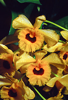 Dendrobium fimbriatum var occulatum, orchid species, fringed gold and yellow lip, very fragrant native of Vietnam