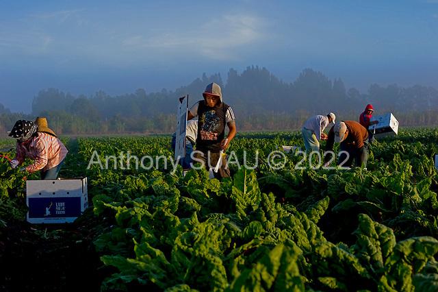 Punta Gorda, Florida<br /> December 8, 2012<br /> <br /> Workers harvest rainbow chard at sunrise on Lady Moon Farm organic farm. The farm is  owned and run by Tom Beddard and is one to the largest organic farms in Florida.