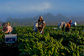 Punta Gorda, Florida<br /> December 8, 2012<br /> <br /> Workers harvest rainbow chard at sunrise on Lady Moon Farm organic farm. The farm is  owned and run by Tom Beddard and is one to the largest organic farms in Florida.