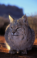 BOBCAT at sunrise. Near Canyonlands National Park, Utah..(Felis rufus).