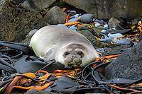 Elephant Seal pup resting on Dervillea kelp on Heard Island, Antarctica