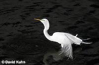 0311-0821  Great Egret Drinking Water, Displaying Breeding Plumage, Ardea alba © David Kuhn/Dwight Kuhn Photography