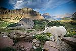 Mountain goat, Glacier National Park, Montana, USA