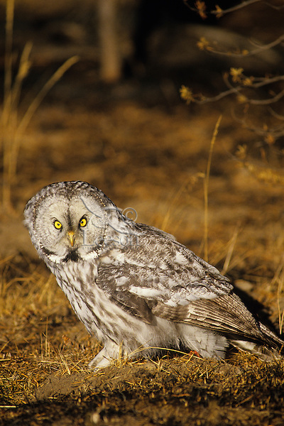 Great gray owl (Strix nebulosa), Montana.  (In area right after forest fire).