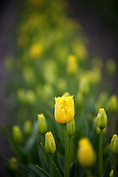 Close up of yellow  tulips . Tulip Town. Mt. Vernon. Washington