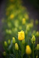Close up of yellow  tulips . Tulip Town. Mt. Vernon. Washington