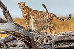 Kenya, Maasai Mara National Reserve, cheetahs (Acinonyx jubatus) on the lookout