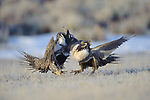 Male Greater Sage-Grouse (Centrocercus urophasianus) fighting on a lek. Freemont County, Wyoming. March.