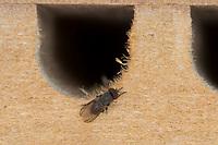 Taufliege, Essigfliege, Fruchtfliege, Cacoxenus indagator, Obstfliegen, Taufliegen, Drosophilidae, Futterparasit, Parasit, bei der Rostroten Mauerbiene, Osmia bicornis, an Wildbienen-Nisthilfe, drosophilid fly, Houdini fly, parasite of solitary bees, Red Mason Bee