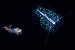 Amphipod and scale worm ..ID Andrey Ryanskiy