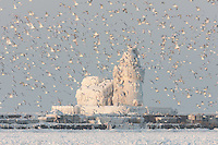 Seagulls fly in front of the ice covered Cleveland Harbor West Pierhead Light.  The lighthouse was encased in ice by crashing waves in frigid air temperatures during mid-December.