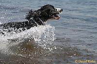 0805-06xx, Domestic dog, English Springer Spaniel, © David Kuhn/Dwight Kuhn Photography