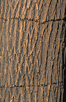 Green Ash tree (Fraxinus pennsylvanica) with holes in bark made by yellow-bellied sapsucker. Carolinian Forest. Canada's smallest and most southerly forest. Lake Erie shore, Ontario.