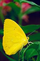 PHOEBIS PHILEA, Orange-Barred Sulphur Butterfly,                              subfamily - Coliadinae;    family - Pieridae;    order - Lepidoptera;      class - Insecta;    phyllum - Arthropoda;     kin gdom - Animalia. NEW ORLEANS LOUISIANA USA AUDUBON
