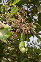 Cashew Nut Forming under Cashew Apple, near Sokone, Senegal